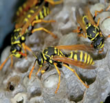 low cost wasp nest removal in edinburgh